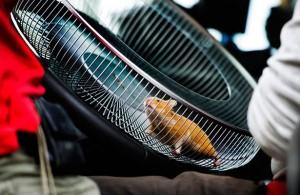 Hamster na gaiola adaptada em volante de caminhão