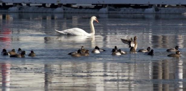 Cisnes em Nova York