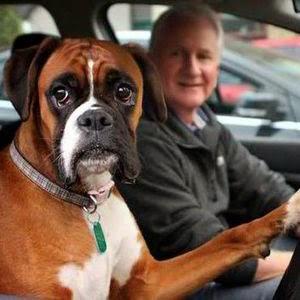 Cadela Fern com seu dono dentro do carro