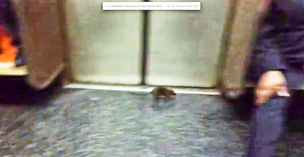 Rato em metrô de NY