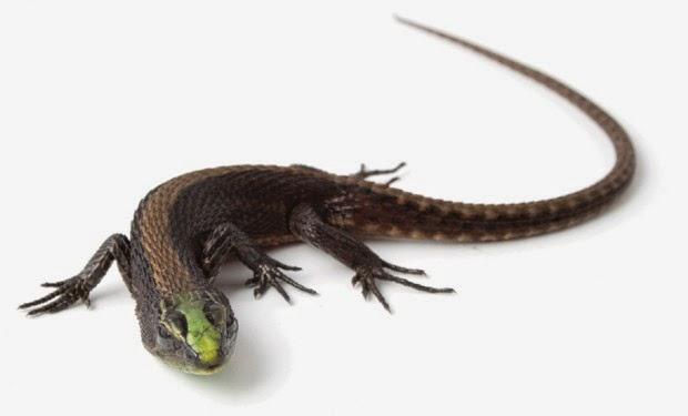 Lagarto com cabeça de cor verde-metálica e barriga laranja