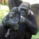 Acusação de racismo pode suspender escolha de nome de gorila em zoo de BH