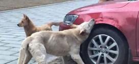 Cachorro chutado por homem volta com amigos para atacar carro do agressor