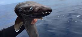 Raro tubarão 'pré-histórico' é encontrado na costa da Espanha