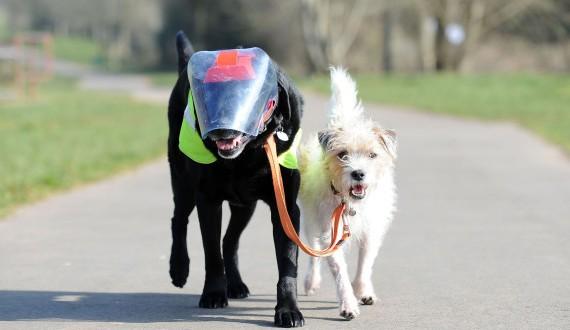Cão da raça terrier vira guia de labrador cego
