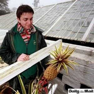 Abacaxi de luxo de R$ 35,9 mil é cultivado com estrume no Reino Unido