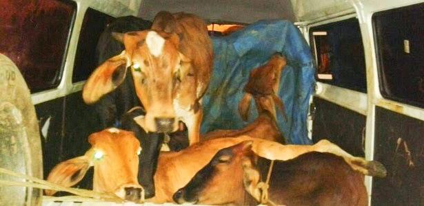 Homens são detidos transportando vacas dentro de Kombi em Minas Gerais