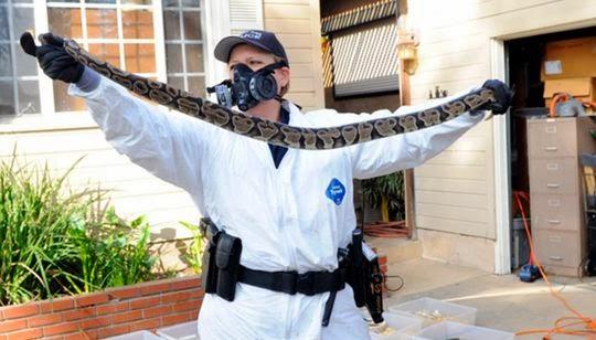 Centenas de cobras são encontradas em casa de professor primário na Califórnia