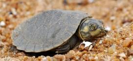 Sopa rende pouco dinheiro, e criador usa tartaruga para fazer xampu e creme