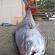 Pescadora neozelandesa fisga atum de 411,6 quilos e bate recorde