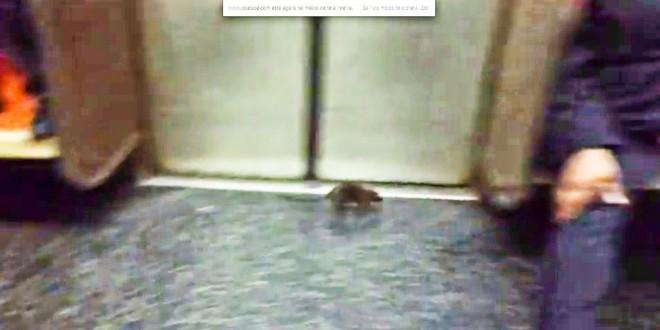 Rato pega 'carona' em metrô e apavora passageiros em Nova York