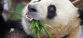 Panda finge gravidez para ganhar mais bambus e tratamento especial