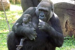 Nomes africanos para batizar filhote de gorila em concurso causam polêmica