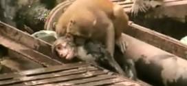Vídeo mostra macaco 'ressuscitando' colega que foi eletrocutado na Índia