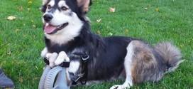 Impressora 3D ajuda cão que não podia andar