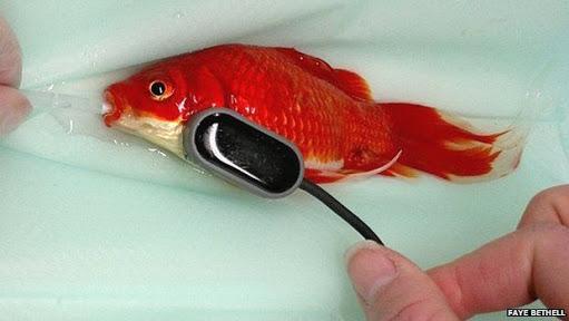 Dono de peixinho-dourado paga R$ 1,2 mil para livrá-lo de constipação intestinal