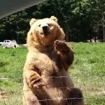 Urso acena para casal e mostra que é craque em pegar comida no ar