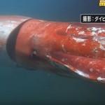 Lula gigante rara é encontrada em águas rasas do Japão